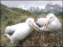Wandering albatrosses   P Bucktrout/BAS