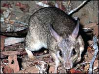 Madagascar's giant jumping rat   Olivier Langrand/Conservation International