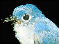 Caerulean paradise flycatcher   Jon Riley/BirdLife
