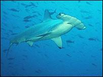 Hammerhead shark (BBC)