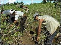 Cocaine growers in Colombia