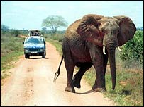African elephant on road   BBC