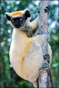 Endangered Madagascar lemur   Haroldo Castro