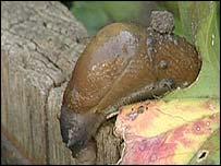Slug, BBC