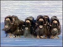 Musk oxen   Television Trust for the Environment
