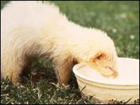 A ferret drinking