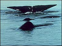 Sperm whale, US National Oceanic and Atmospheric Administration
