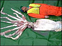 Giant squid caught in Scotland