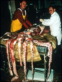 Giant squid, BBC