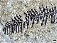 Fossilised fern, SPL