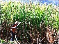 Sugar plantation