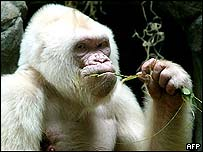 Snowflake the gorilla