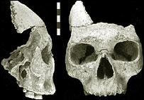 Facial fossil, Journal of Human Evolution