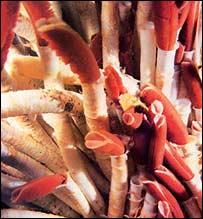 Worms, InterRidge Consortium