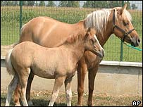 Prometea, the world's first cloned horse with her mother