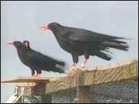 Choughs released into the wild