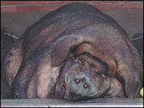 Did you know: there are over 16 different species of pigs ...