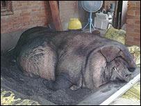 Pig, WSPA