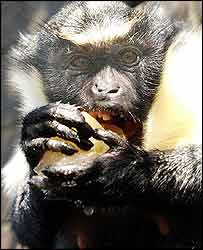 A Diana monkey at London Zoo eating a fruit ice lolly