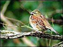 Cirl bunting   Chris Gomersall/RSPB Images