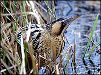 Bittern   Andy Hay/RSPB Images