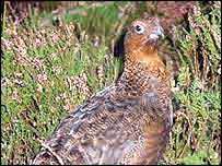 Grouse on moors