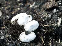 Grass snake eggs   English Nature