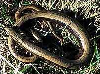 Slow worm   English Nature