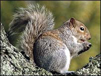 Grey squirrel - freefoto.com