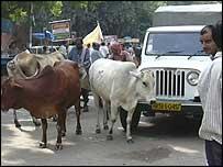 Cows in Delhi