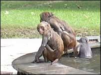 Delhi street monkey