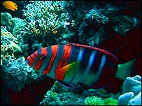 Harlequin tuskfish   Ove Hoegh Guldberg