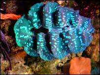 Giant clam   Cedric Genevois