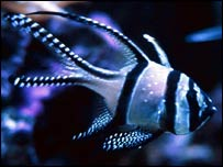 Banggai cardinalfish   Colette Wabnitz