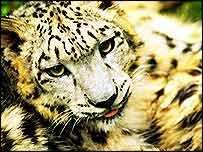 Snow leopard close-up   WWF