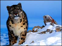 Snow leopard in mountains   WWF