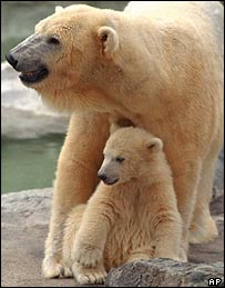 Polar bear, AP
