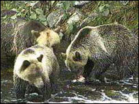 Grizzly bears, BBC