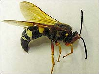 Giant African Wasp http://news.bbc.co.uk/2/hi/americas/3151555.stm