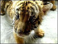 South China tiger cub