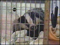 Bruce the badger just before his release