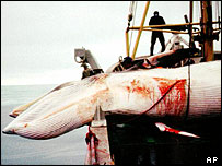 Minke whale killed