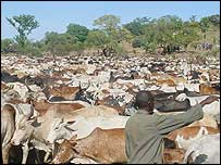 The confiscated cows