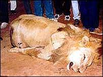 Dead lion   BBC