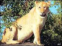 Lioness on branch   AP