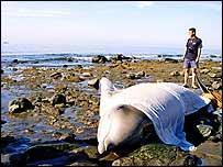 Covered dead whale   Guayarmina Brito