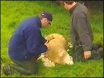 The big cat was blamed for an attack on this sheep