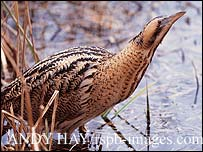 Bittern / Andy Hay rspb-images.com
