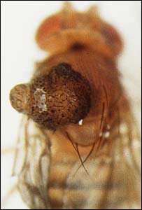Fruit fly (Picture courtesy of Pagliarini and Xu)