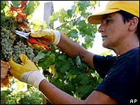 A wine harvest worker snips off grapes at the Castello Banfi vinyard in Montalcino, Tuscany, Italy